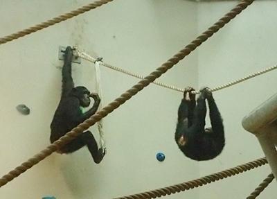 160716 円山動物園 チンパンジー子ども.JPG