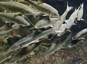 160726 千歳水族館10 千歳川ロード_ウグイ,エゾウグイ.JPG