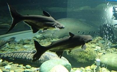 160726 千歳水族館11 世界の淡水魚.JPG