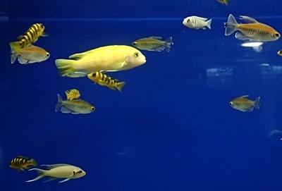 160726 千歳水族館11 世界の淡水魚_アフリカ.JPG