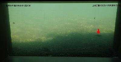 160726 千歳水族館12 水中観察ゾーンの川.JPG