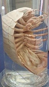 160911千葉県中央博物館驚異の深海生物 テイオウグソクムシ横.JPG