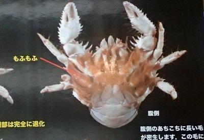 160911千葉県中央博物館驚異の深海生物 ユノハナガニもふもふ.JPG