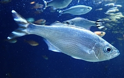 170109 謎魚ギンユゴイ.JPG