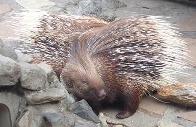 170312 羽村市動物公園 インドタテガミヤマアラシ.JPG