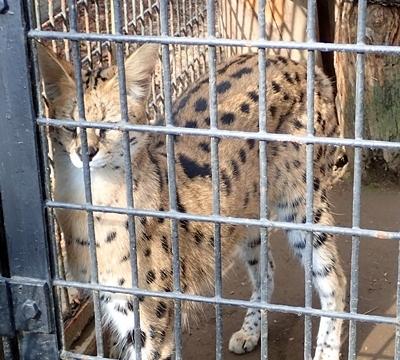 170312 羽村市動物公園 サーバル1.JPG