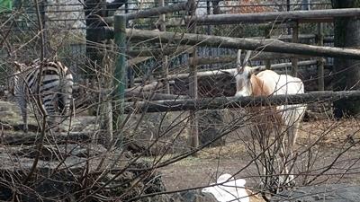 170312 羽村市動物公園 シロオリックス.JPG