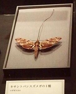 1703大英自然史博物館展_05-1キサントパンスズメガ.JPG