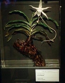 1703大英自然史博物館展_05-2スイセイラン.JPG
