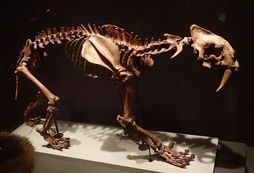 1703大英自然史博物館展_07サーベルタイガー.JPG