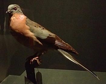 1703大英自然史博物館展_11リョコウバト.JPG