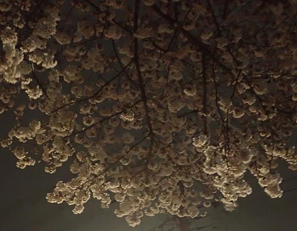 170416 夜桜松戸.jpg