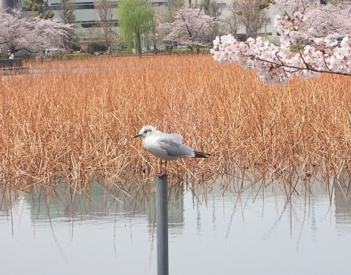 170416 桜ユリカモメ不忍池.JPG