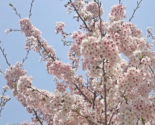 170416 桜松戸.JPG