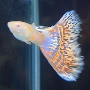 1704 江戸川区観賞魚フェア_guppy_PREAモザイク.JPG