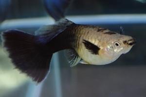 1704 江戸川区観賞魚フェア_guppy_PREAモザイクブルーテールラメ.JPG