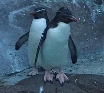 170818東山動物園ナイト05イワトビペンギン.JPG