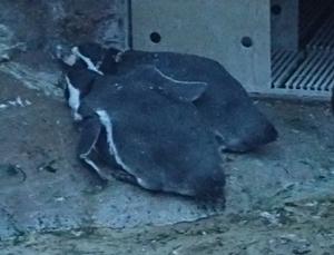 170818東山動物園ナイト05フンボルトペンギン.JPG