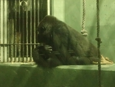 170818東山動物園ナイト09ゴリラ.JPG