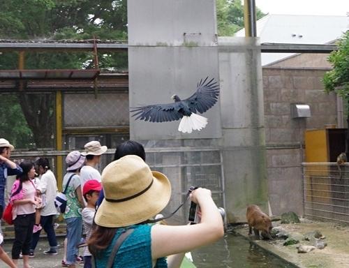 1708東武動物公園-シワコブサイチョウ_飛翔.JPG