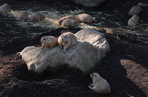 1709江戸川区自然動物園 06オグロプレーリードッグ.JPG