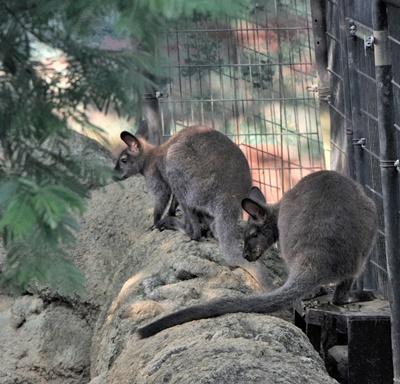 1709江戸川区自然動物園 09ベネットアカクビワラビー.JPG