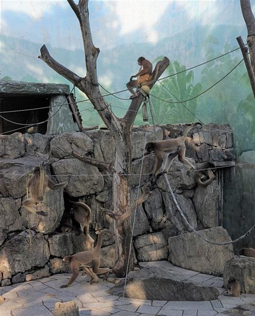 1709江戸川区自然動物園 20ブラウンケナガクモザル.JPG