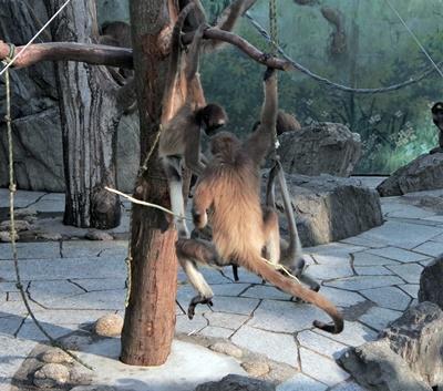 1709江戸川区自然動物園 22ブラウンケナガクモザル.JPG