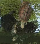 1709江戸川区自然動物園 26クサガメ.JPG