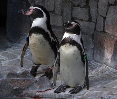 1709江戸川区自然動物園 32フンボルトペンギン.JPG