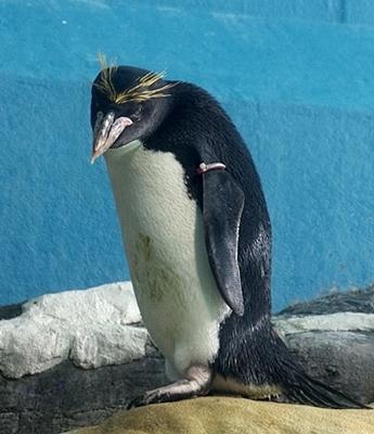 1803箱根園水族館 (17)マカロニペンギン1.JPG