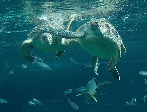 1803箱根園水族館 (3)大水槽2アカウミガメなんでやねん.JPG