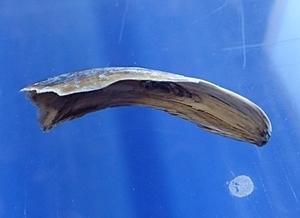 1803箱根園水族館 (5)バックヤード_バイカルアザラシの爪.JPG