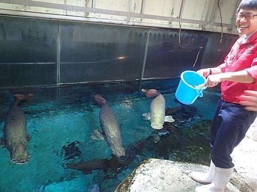 1803箱根園水族館 (6)バックヤード_ピラルクえさやり.JPG