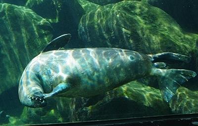 1803箱根園水族館 (8)バイカルアザラシ水槽の下のアザラシ.JPG