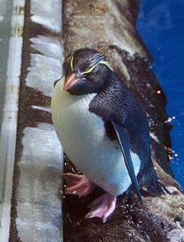 180722長崎ペンギン水族館50イワトビペンギン.JPG