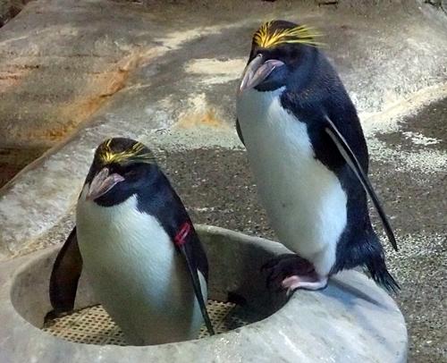180722長崎ペンギン水族館50マカロニペンギン.JPG
