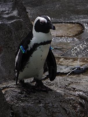 180722長崎ペンギン水族館51ケープペンギン.JPG