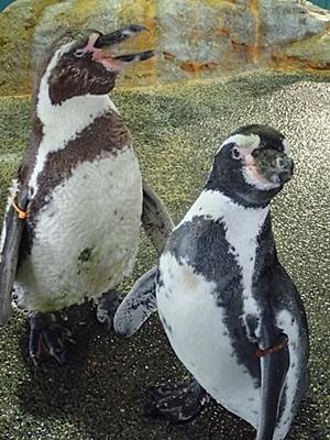 180722長崎ペンギン水族館51フンボルトペンギン.JPG