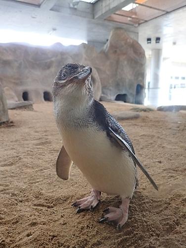 180722長崎ペンギン水族館55コガタペンギン.JPG