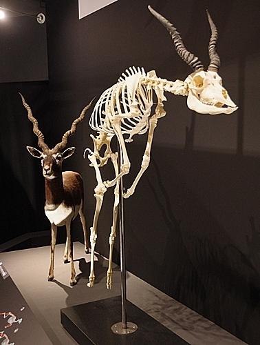 1904 科博_哺乳類展2_19ブラックバック骨格_ジャンプ.JPG