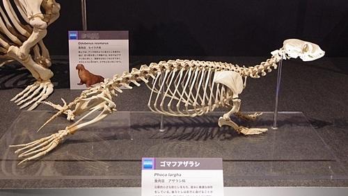 1904 科博_哺乳類展2_40 ゴマフアザラシ.JPG