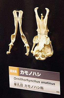 1904 科博_哺乳類展2_90カモノハシ頭骨.JPG