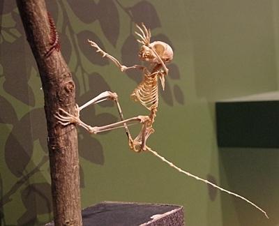 1904 科博_哺乳類展2_90ショウガラゴ骨格.JPG