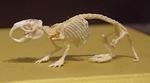 1904 科博_哺乳類展2_90ハダカデバネズミ骨格.JPG