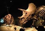 1907科博_恐竜博2019_00 トリケラトプスvs2011(24).JPG