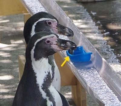 190825 小諸市zoo16_0817p (48)フンボルトペンギン_流しアジ_舟にアジをスルー.JPG