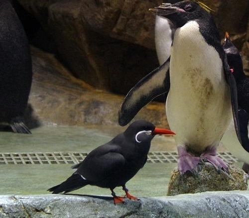 200314_120しものせき海響館0209p (662)マカロニペンギン・インカアジサシ.JPG