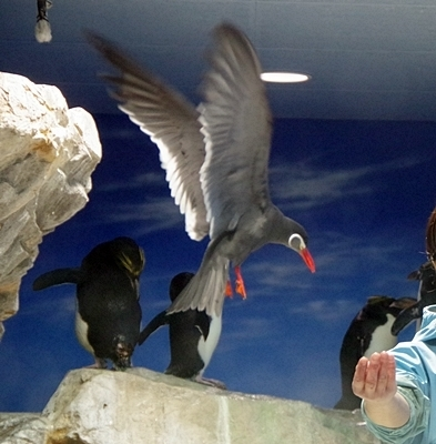 200314_122しものせき海響館0209p (26)ペンギン大編隊_第1部_インカアジサシのホバリング.JPG