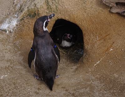200322_06 海響館0209p (394)フンボルトペンギン特別保護区_巣とペア.JPG